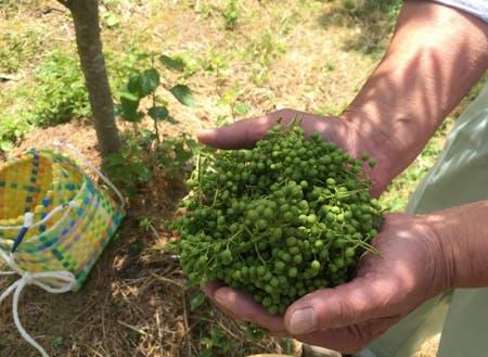 農産物の生産者さんに会える(朝倉山椒収穫のようす)