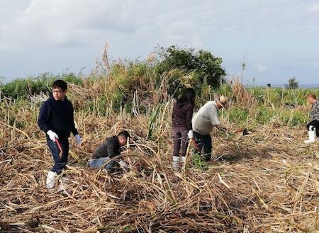 伊江島でのさとうきび刈り