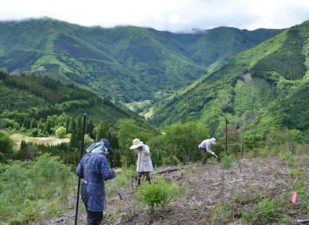 椎葉村の焼畑で雑穀を栽培