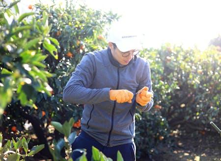 みかん収穫作業の様子