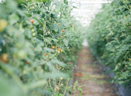ハウス栽培のミニトマト