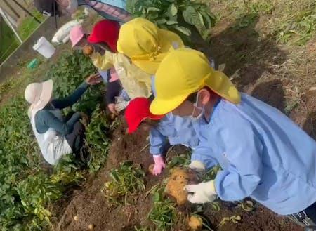 見島ファームのジャガイモ畑で保育園児たちが収穫体験^^