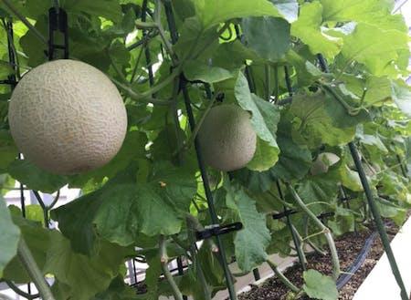 メロンの栽培実証なども行っています。