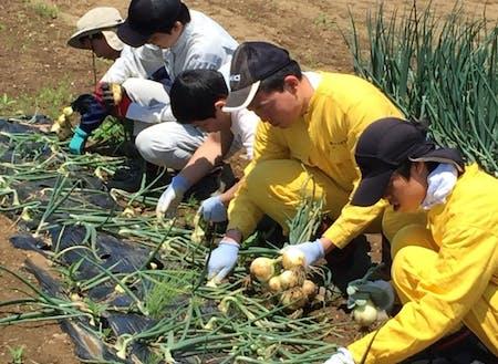 たまねぎの収穫作業