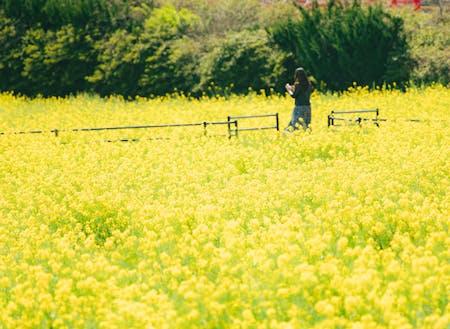 一面の菜の花畑 自然の中でひとりの時間も
