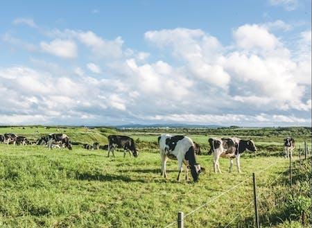 広大な土地を最大限に活用した村営牧場での放牧の様子。