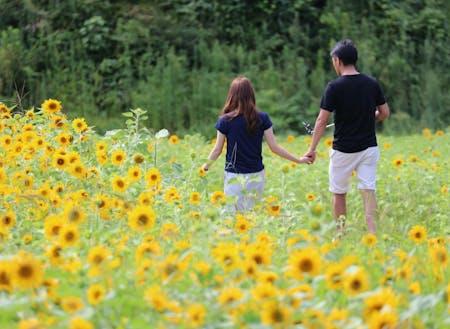 50万本のたんとうひまわり畑(夏)