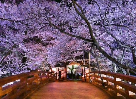 全国的に有名な高遠城址公園の桜