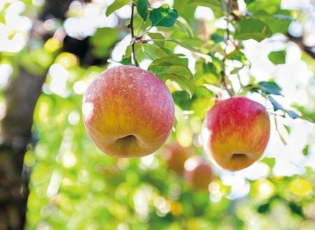 実はリンゴ狩りもできる嘉麻市。