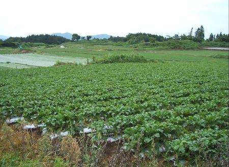 日当たりと水はけの良い溶岩台地の上では、広大なだいこん畑が広がる。