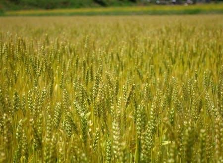 米や小麦や野菜など、季節に応じた農業体験が可能です。