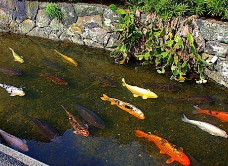 藍場川には鯉が暮らしています
