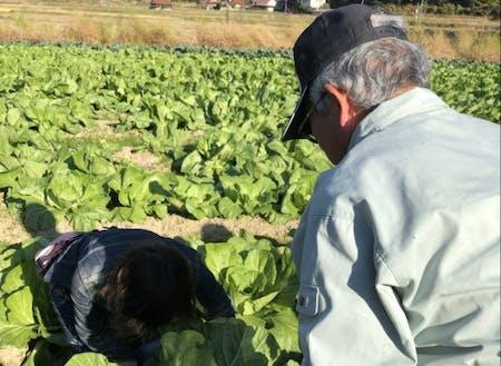 白菜の収穫体験!大きさにびっくり