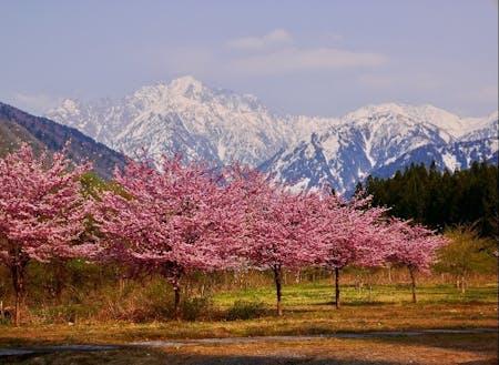 四季を感じる暮らし。まるで桃源郷のような剱岳と桜の共演。