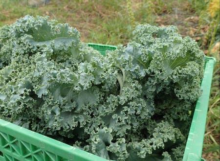 栄養価の高さから近年注目されているケールの栽培にも力を入れています。