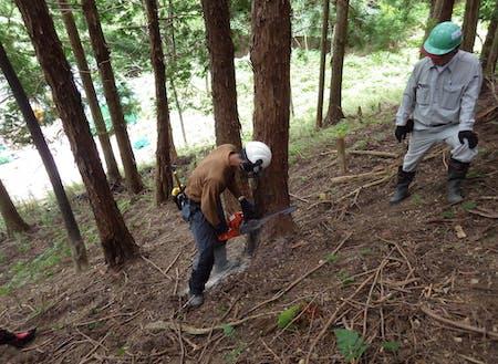 チェーンソーによる伐採