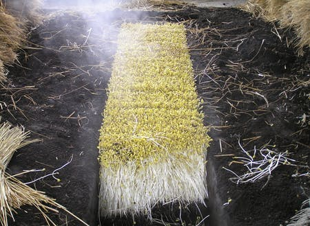 独特の栽培方法で受け継がれてきた「大鰐温泉もやし」