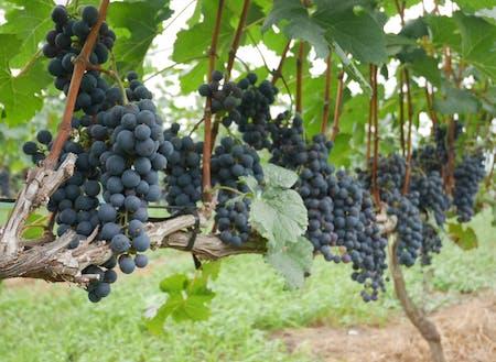 ワイン専用品種メルロー