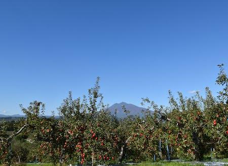 たわわに実るりんごと津軽富士・岩木山。