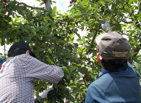 りんごは、5月から11月に集中して作業が必要で、その多くが手作業。