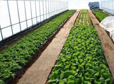 現在は葉物野菜を栽培している