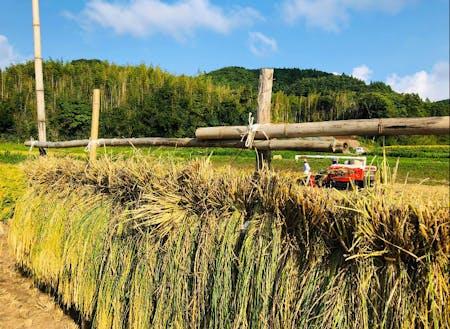 秋に行う稲刈りの様子。