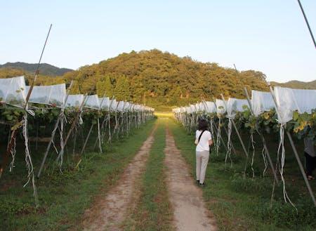 ぶどう園地の風景