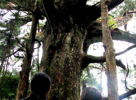 朝日出山の大杉。村の中心地から車で約30分、そこから歩いて10分で出会える大自然。幹の周囲が10m以上あり、これより太い杉を村人は知らないそう。