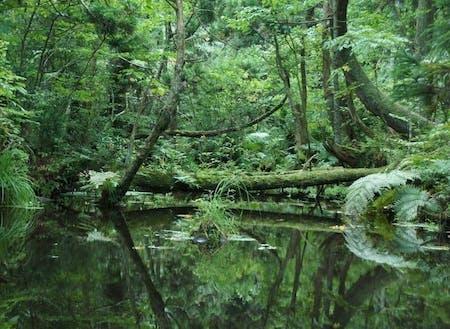国指定天然記念物「杉沢の沢スギ」