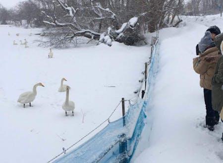 ▲美しい白鳥の飛来&池への着水シーンは感動★