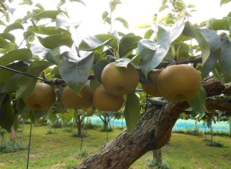 明和町の梨。みずみずしく甘みが強い県内でも人気の梨です。