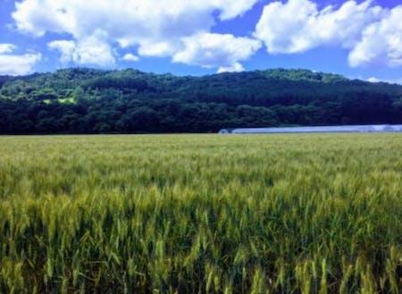 トマトだけでなく「ハルユタカ」や「ハルキラリ」という小麦も育てています。