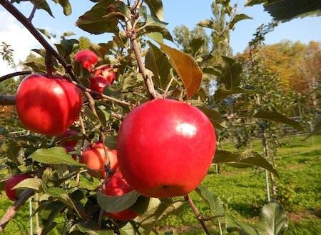 りんごやさくらんぼなど果樹の産地で夏はくだもの狩りが楽しめます