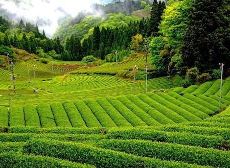 新緑が鮮やかな茶畑