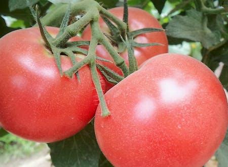 高橋さんのトマト。品種は麗夏(れいか)。肉厚で、調理しても味が濃厚