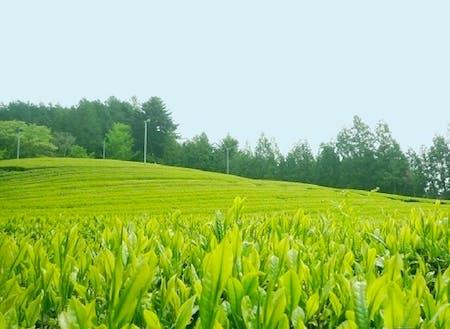 古内茶 この茶の木の原種は水戸黄門の名で知られる徳川光圀公がその味に感嘆し、詩を詠まれたという話が残っています。そのとき、光圀公はこのお茶を「初音」という名で呼ぶことをすすめたそうです。
