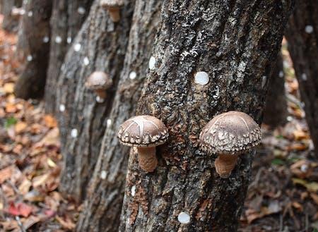村の主産業は林業や循環型農法である原木椎茸栽培。
