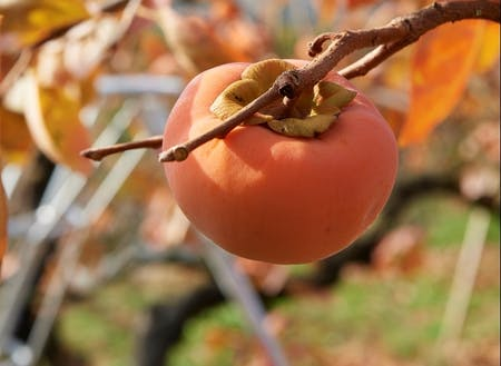 そして、秋は柿!
