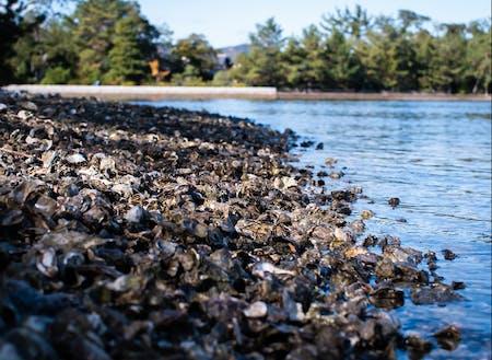 天橋立に集積する牡蠣殻
