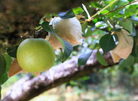 収穫間近の秋芳梨