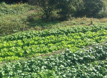 山中のひな壇で栽培された野菜たち