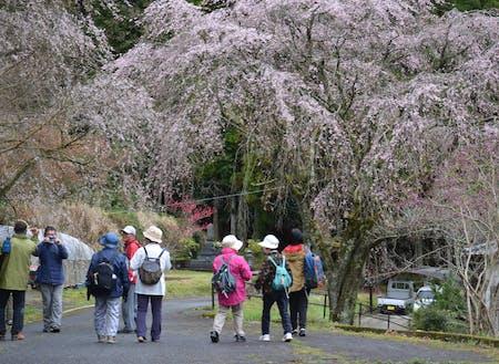 しだれ桜が満開の五ヶ瀬町でフットパス