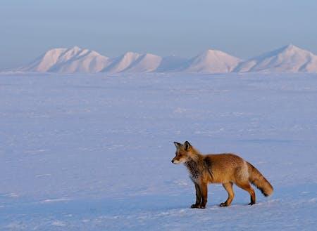 雪原では野生動物を見つけやすくなります!